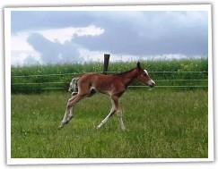 Zobrazit (20 fotek) hřebec welsh cob
