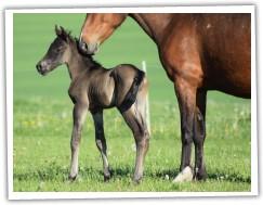 Zobrazit (6 fotek) welara hřebec (75% arabské krve)