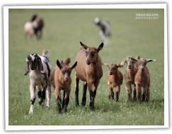 Zobrazit (21 fotek) Naše chovné kozy
