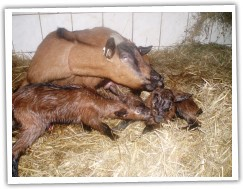 Jednorožka porod 2011