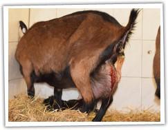 koza ulehá opatrně vedle kůzlete