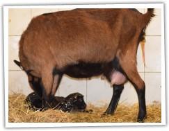 17.00hod matka pečuje o mládě a objevují se kopýtka druhorozeného