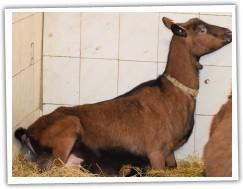 koza ulehá a intenzivně tlačí