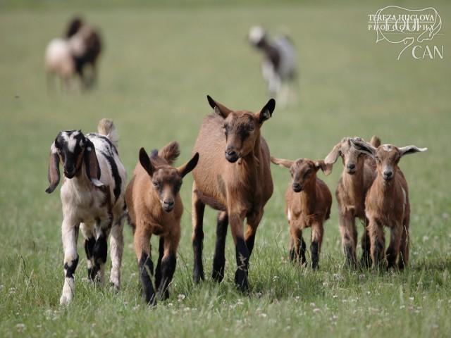 Návrat z pastviny