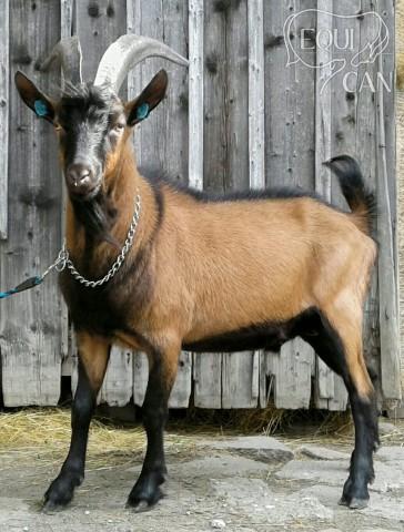 Plemenný kozel